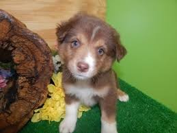 australian shepherd indiana view ad australian shepherd puppy for sale indiana hammond usa