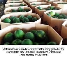 sending fruit australia chinchilla watermelon growers finally picking and
