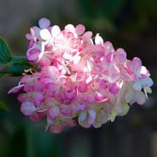 Cheap Flower Seeds - flower seeds buy cheap flower seeds from banggood
