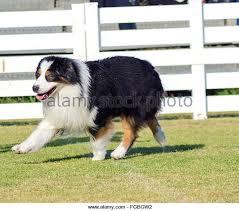 australian shepherd velcro dog velcro dog stock photos u0026 velcro dog stock images alamy