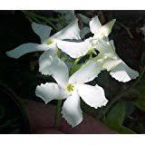 Fragrant Jasmine Plant - amazon com confederate star jasmine plant 6