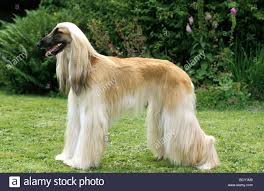 afghan hound dog images afghan greyhound stock photo royalty free image 25180288 alamy