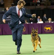 lexus in westminster co rumor the german shepherd wins best in show at the westminster dog