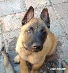 belgian shepherd sydney belgian shephard malinois male puppy dogs puppies for sale in