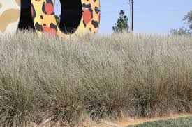 ornamental grasses big country master gardeners