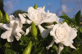 gardenia flower flowers for flower gardenia flowers