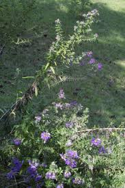 native plants of new england new england aster
