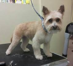 cairn hair cuts 14 best shih tzu hair styles images on pinterest hair cut