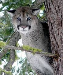 cougars mountain lions living wildlife washington