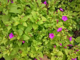 how to grow ageratum gardening four o clocks growing four o clocks