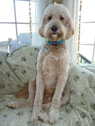 how to cut a goldendoodles hair goldendoodle haircut goldendoodle haircuts jake pinterest