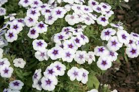 Phlox Flower Garden Phlox Gives Excellent Flower Show Mississippi State
