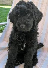 doodle doo labradoodles 56 best labradoodle haircut images on dogs and