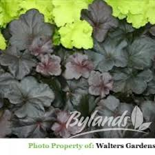10 best heuchera perennials for your garden images on pinterest