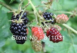 aliexpress buy selling 20pcs blackberry seeds bonsai