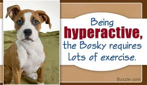 10 boxer dog facts fabulous information about the boxer siberian husky mix breed