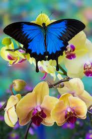 best 25 blue butterfly ideas on pinterest butterflies