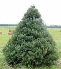 scotch pine christmas tree scotch pine tree seeds pinus sylvestris popular christmas tree