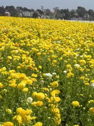 carlsbad flower garden flower fields near san diego u2014 marifarthing blog the carlsbad