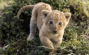imagenes de leones salvajes gratis animales cachorros leones fondos de pantalla gratis