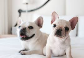 French Bulldog Meme - how to find the right french bulldog breeder what the frenchie
