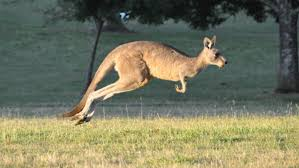 what is a baby kangaroo called reference com