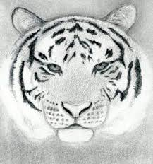 drawn tiger head pencil and in color drawn tiger head