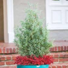 drought tolerant ornamental trees trees the home depot