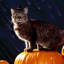 pet halloween background download wallpaper 2048x2048 cat halloween fluffy pumpkin new