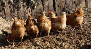 how to raise backyard chickens farm and dairy
