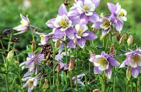 columbine flowers get free stock photo of white and lavender columbine flowers
