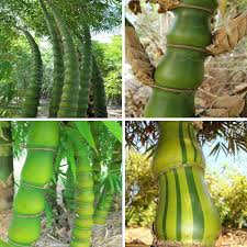 40pcs bag buddha belly bamboo perennial ornamental plant