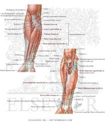 Nerves In The Knee Anatomy Compartment Forearm Muscles And Nerves