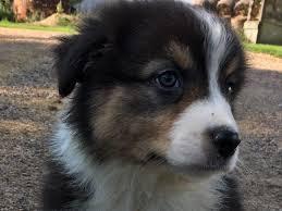 australian shepherd puppies under 500 northstar aussies australian shepherd puppies for sale
