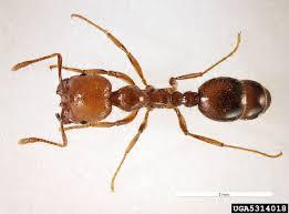 fire ant solenopsis geminata hymenoptera formicidae 5314018