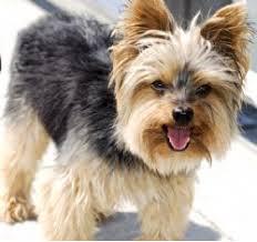 silky terrier hair cut silky terrier breed information pictures australian silky