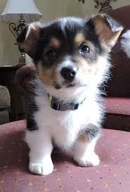 pembroke welsh corgi is so cute love them so much