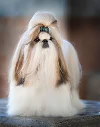pictures of shorkie dogs with long hair 97 best shih tzu show dog images on pinterest dog breeds