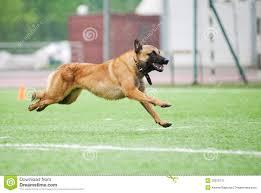 belgian sheepdog malinois funny belgian shepherd malinois dog running stock photography