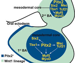 cranial muscle defects of pitx2 mutants result from specification