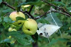 apple tree bug treatment u2013 how to protect apple trees from insects