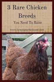 best 25 rare chicken breeds ideas on pinterest chicken breeds