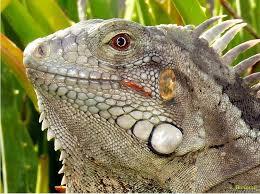 imágenes de iguanas verdes iguana verde fotos cuidados alimentación y podemos tener una