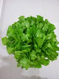 edible garden landscape delicious lettuce the variety suited for
