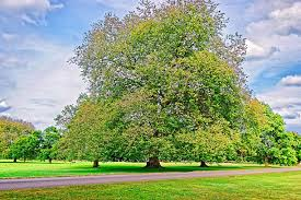 alder tree pictures images and stock photos istock