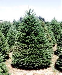 douglas fir christmas tree douglass christmas tree farm to http houston kidsoutandabout