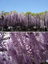 wisteria meaning in hamamatsu com recommend yuya no nagafuji