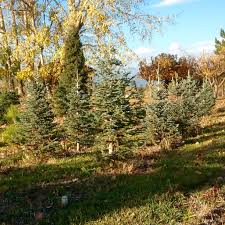 christmas tree ok tree corral u2013 okanogan county u0027s u0027choose and