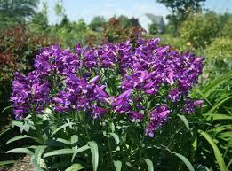 purple rock candy penstemon star roses u0026 plants