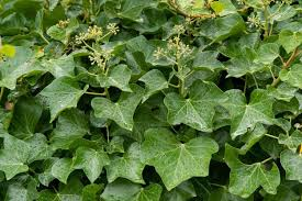 hedera helix l plants of the world kew science